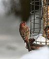 Finch (3188020722).jpg