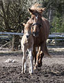 Finn mum and foal.jpg