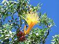 Fiore di Adansonia rubrostipa.JPG