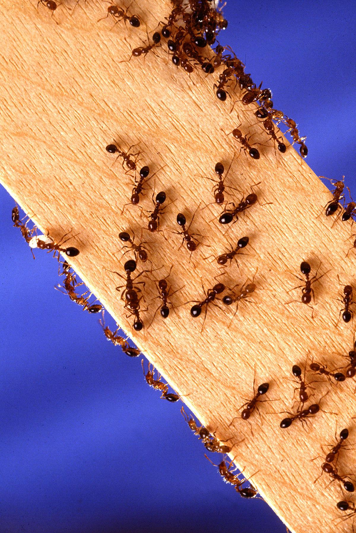 Fire ants.jpg