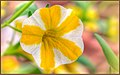Five Striped Fall Flowers (179457893).jpeg