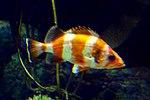Flag rockfish, Kelp Forest, Baltimore aquarium.jpg