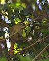 Flickr - Dario Sanches - ARREDIO-PÁLIDO (Cranioleuca pallida) (2).jpg