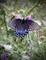 Flickr - Nicholas T - Swallowtail.jpg