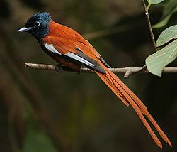 Flickr - Rainbirder - Red-bellied Paradise Flycatcher (Terpsiphone rufiventer) male.jpg