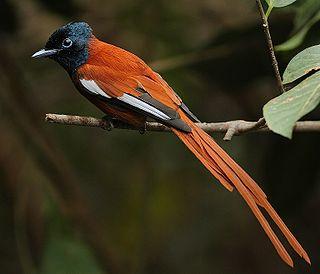 Red-bellied paradise flycatcher species of bird