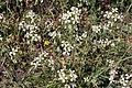 Flora della Sardegna 247 (13).jpg