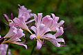 Flower, Resurrection lily - Flickr - nekonomania.jpg