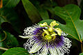 Flower of Passion Fruit.jpg