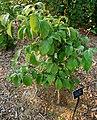 Flowering Dogwood Cornus florida 'Appalacian Spring' Sapling 2000px.JPG