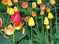 Flowers Tulips Tulppaaneja 24.jpg