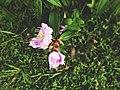 Flowers of AMANGONDA.jpg