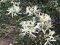 Flowers of Lycoris radiata 20170826-2.jpg