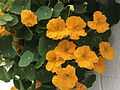Flowers of Tropaeolum majus 20170502.jpg
