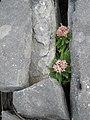 Flowers through the limestone (6030523147).jpg