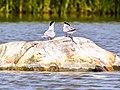Flussseeschwalbe (3) (34988410236).jpg