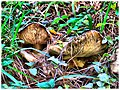 Forest floor Mushrooms - Flickr - pinemikey.jpg