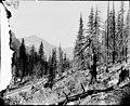 Forest slope and railroad tracks at Monte Cristo, Washington, July 29, 1895 (WASTATE 2483).jpeg