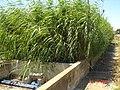 Forte croissance (strong growth of the reeds) - filtre planté de l'IAV, Rabat, Maroc (10784777493).jpg