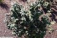 Fothergilla gardenii Mt. Airy 6zz.jpg