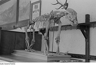 Baumann's Cave - Image: Fotothek df roe neg 0006126 010 Bärenskelett im Eingangsbereich zur Baumannshöhle