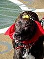 Four eyed dog (1701930618).jpg