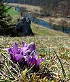 Frühling im Eselsburger Tal. Küchenschellen.jpg