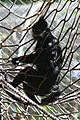 Francois Langur Monkey (Presbytis francoisi) (2854166311).jpg
