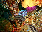 Frilled nudibranch on the wreck of MFV Princess Elizabeth P3167280.JPG