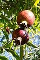 Fruit trees עצי פרי (44).JPG