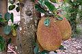 Fruits du jacquier (An Binh, Vietnam) (6680676719).jpg