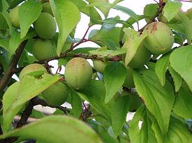 HOA VÀ THƠ - Page 17 275px-Fruits_of_Japanese_plum