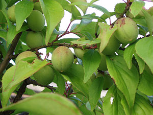 Fruits of Japanese plum.jpg
