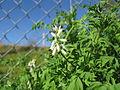Fumaria capreolata flowerhead2 (14605405893).jpg