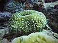 Fungia sp. in Kapoposang Island.jpg