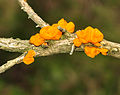 Fungus on gorse, Dendles Waste.jpg