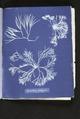 Furcellaria fastigiata (NYPL b11861683-419723).tiff