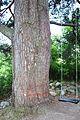Furu 440 cm omkrets i brysthøyde ved Rambekk på Gjøvik 5.JPG
