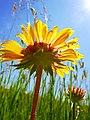 Gaillardia aristata - Blanket Flower (5278733048).jpg