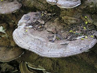 Polyporales - Ganoderma applanatum