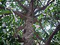 Garcinia xanthochymus (6944236438).jpg