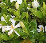 Gardenia jasminoides bud.JPG