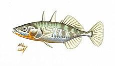 Gasterosteus_aculeatus