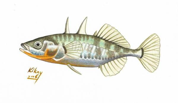 Gasterosteus aculeatus tüskés pikó