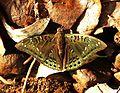 Gaudy Baron Euthalia lubentina Male by Dr. Raju Kasambe DSCN1050 (5).jpg