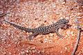 Gecko-cameronscorner001.jpg