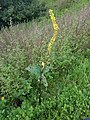 Gele Bloom 2 an'n Bullenbarg bi Nindörp 02.jpg