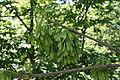 Gemeine Esche (Fraxinus excelsior) - Fruchtstand 02.JPG