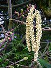 Gemeine Hasel männliche Kätzchen und weibliche Blütenstände.JPG