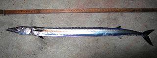 Snake mackerel species of fish